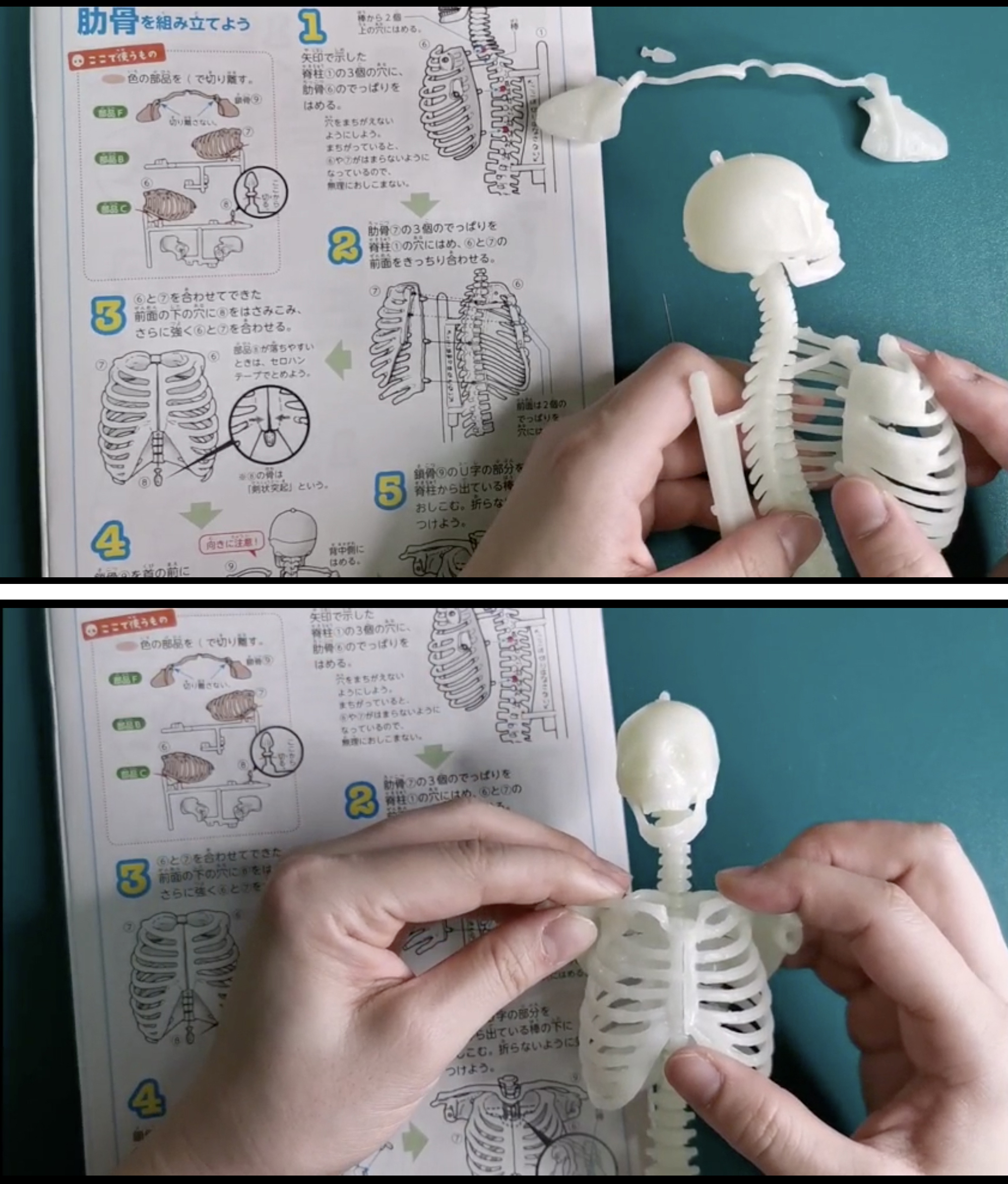 「リアルな模型をパズルのように組み立てるうちに、体のつくりや骨の形に詳しくなれる」画像