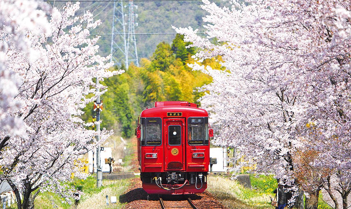サクラのトンネルを走る、「長良川鉄道」の観光列車『ながら』画像