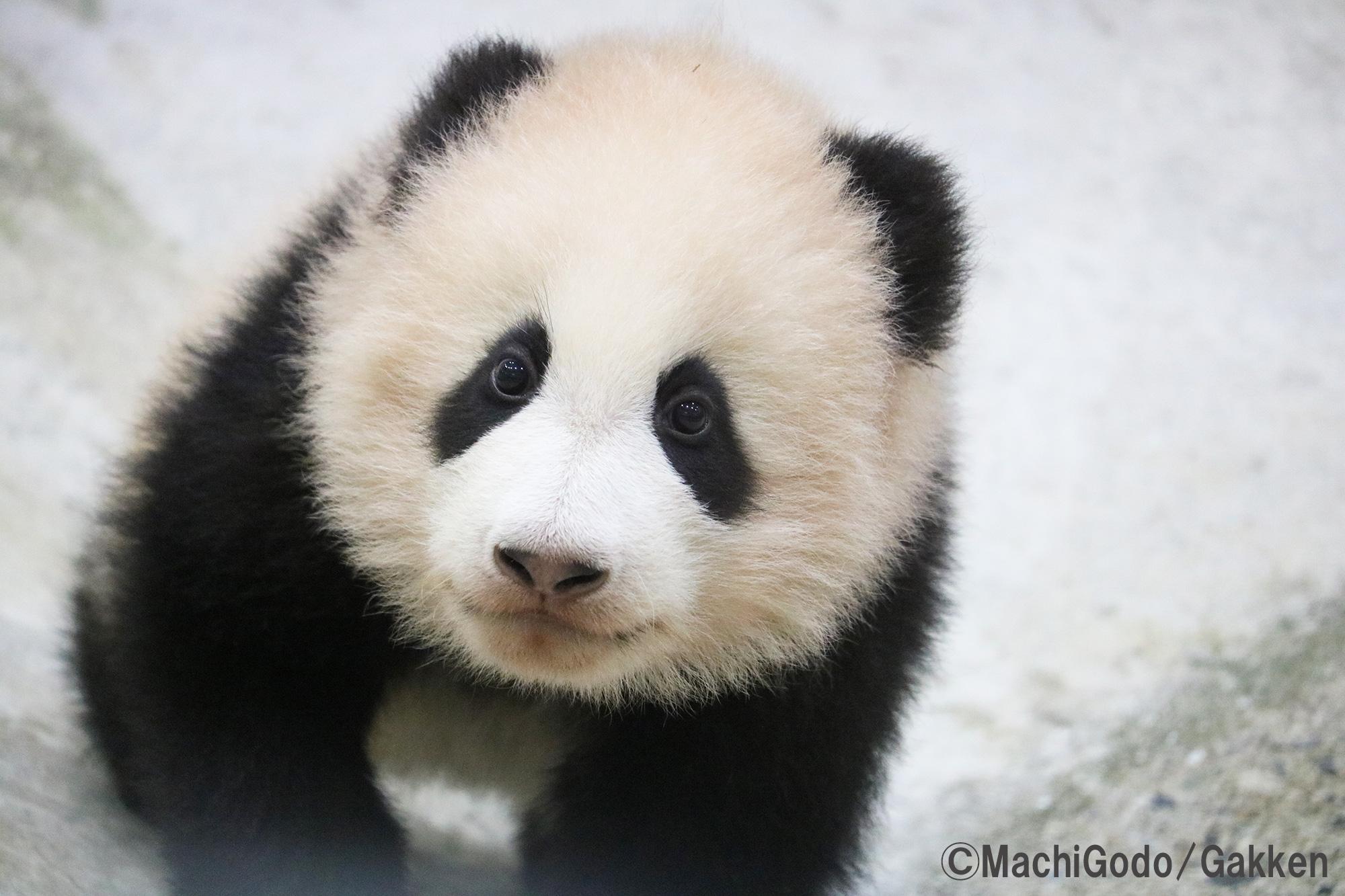 「パンダ」画像